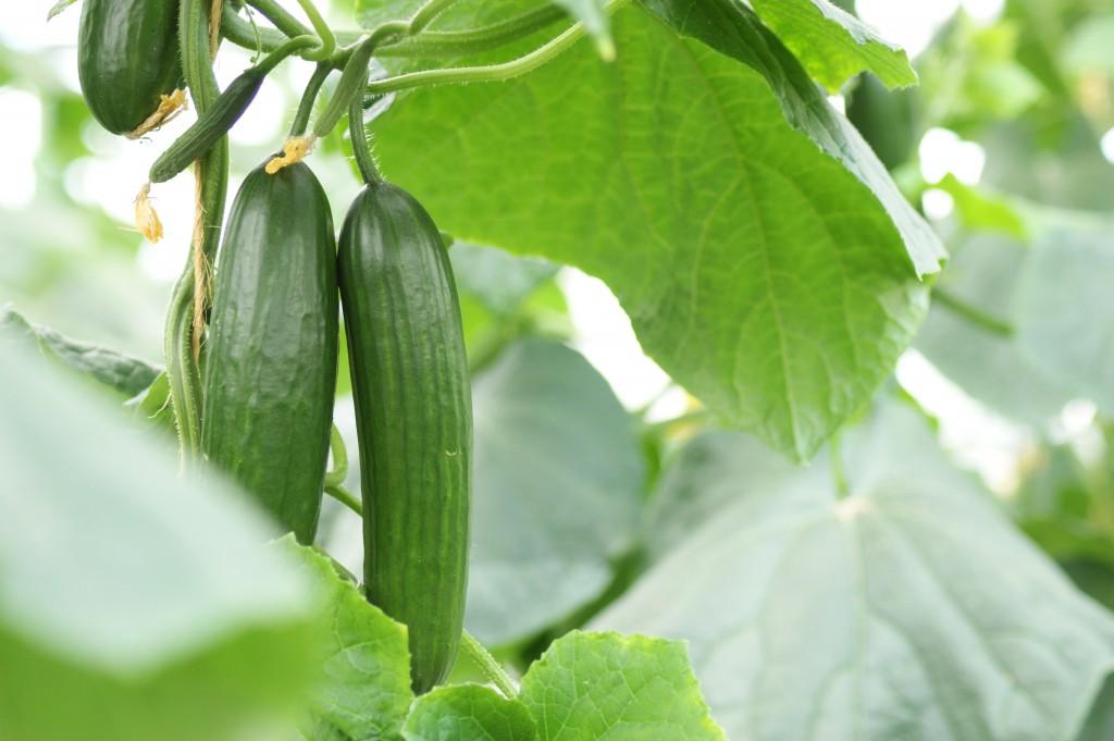 Gemüse, täglich frisch, regionales Gemüse, gärtnerei
