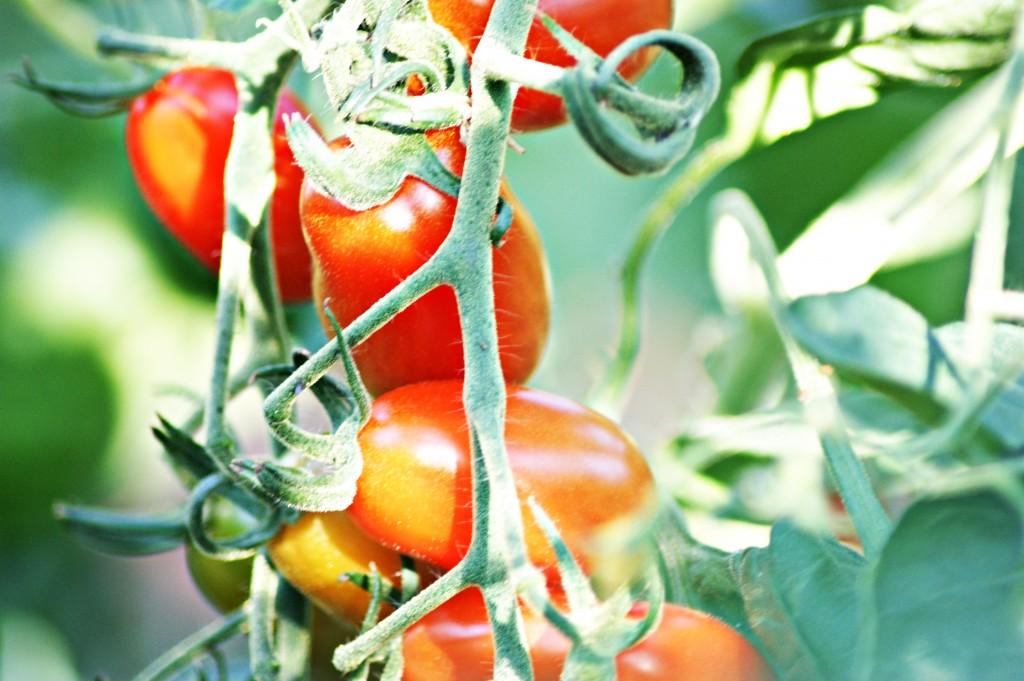 Tomaten, aus eigenem Anbau, eigene Produktion, Gemüse, aus der Region, Cocktailtomaten, Aroma - Tomaten, Ochsenherz - Tomaten, Suppentomaten, Tomatensuppe
